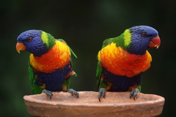 rainbow-lorikeet-686100_1920